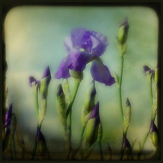 Iris by gothicolors