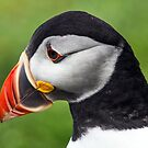Puffin by Alan Forder