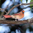 Female Cardinal by hummingbirds