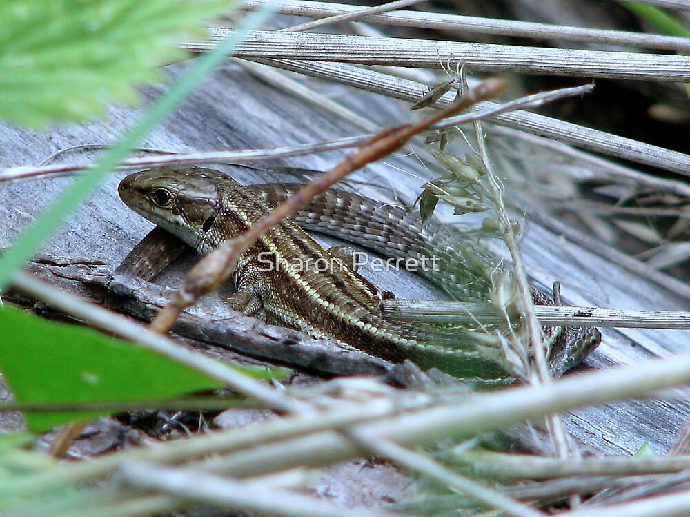 Common Lizard by Sharon Perrett