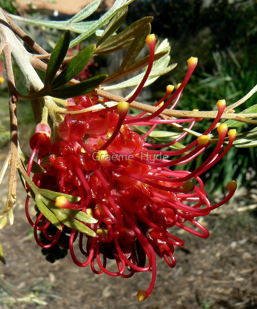 Grevillea Ruby Red 1 by Graeme  Hyde