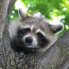 Sad raccoon eyes by hummingbirds