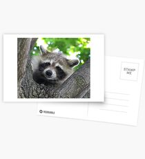 Sad raccoon eyes Postcards