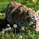 Bobcat  by Luann wilslef