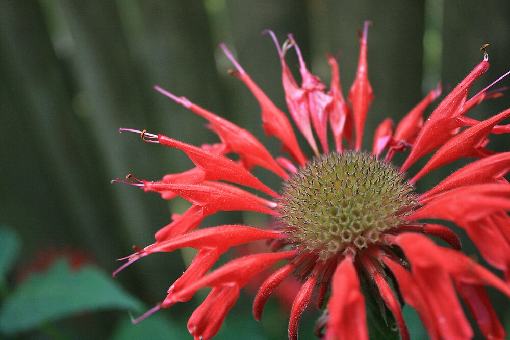 Red Bee Balm by CoreyRose