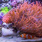 USA. Washington D.C., National Zoo. Aquarium. Clownfish. by vadim19