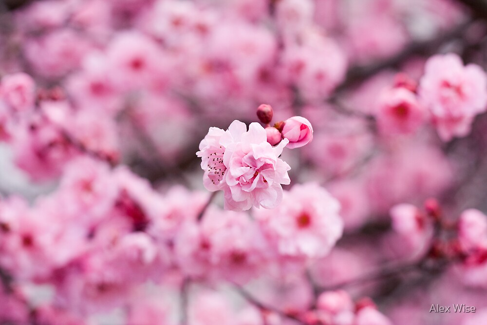 Pink Flowers by Alex Wise