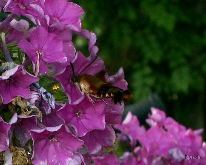Hummingbird Clearwing Moth by Rpnzle