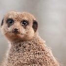 Dwarf Mongoose by Martyn Robertshaw