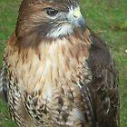 Caerphilly's Falcons by Dawn B Davies-McIninch