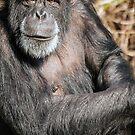 Chimpanzee by Martyn Robertshaw