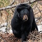 Focused - Black Bear by akaurora