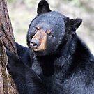 Just Thinking - Black Bear by akaurora