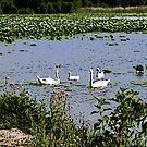 Swans by steelwidow