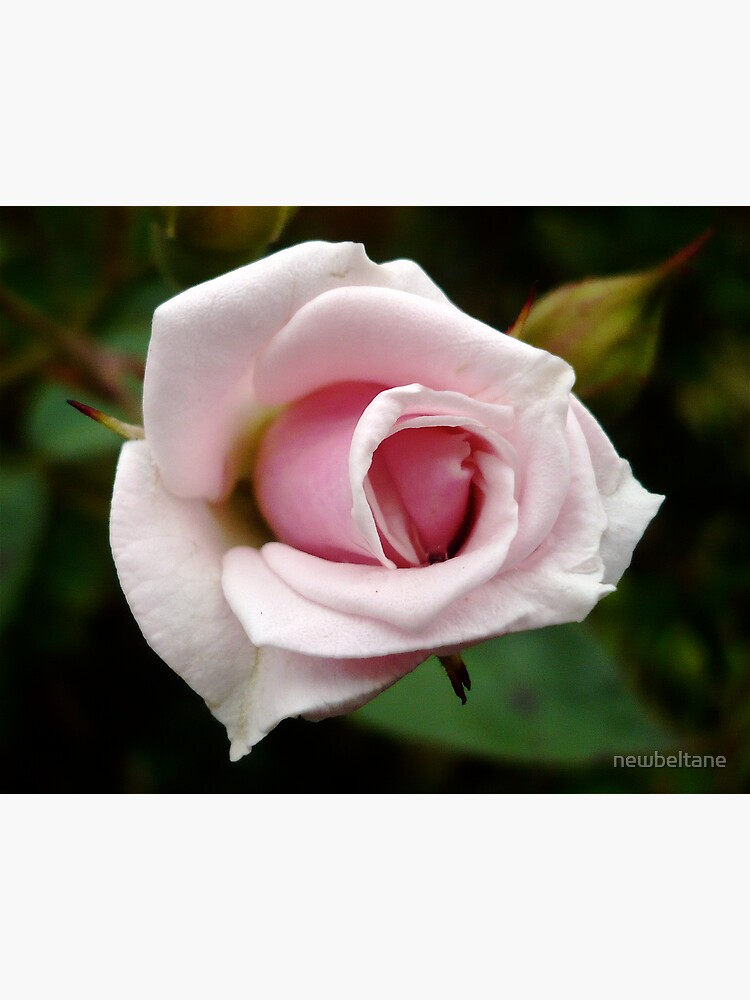 A Rose by any other name... by newbeltane