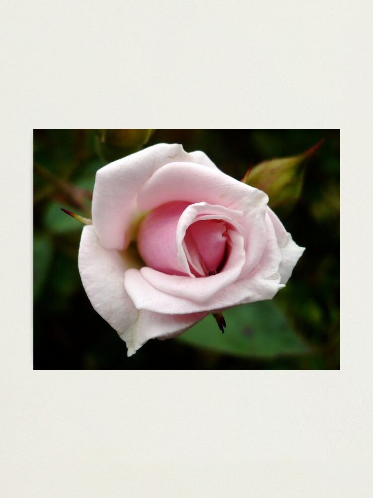 Alternate view of A Rose by any other name... Photographic Print