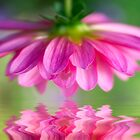 Touch Of Beauty Pink Dahlia by daphsam