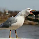 Raucous Gull by Larry Trupp