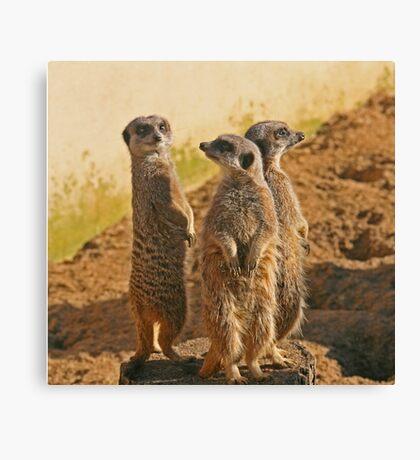 Compare the Meerkats Canvas Print