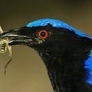 Asian Fairy Bluebird by Lisa Putman