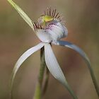 White Spider Orchid by kalaryder