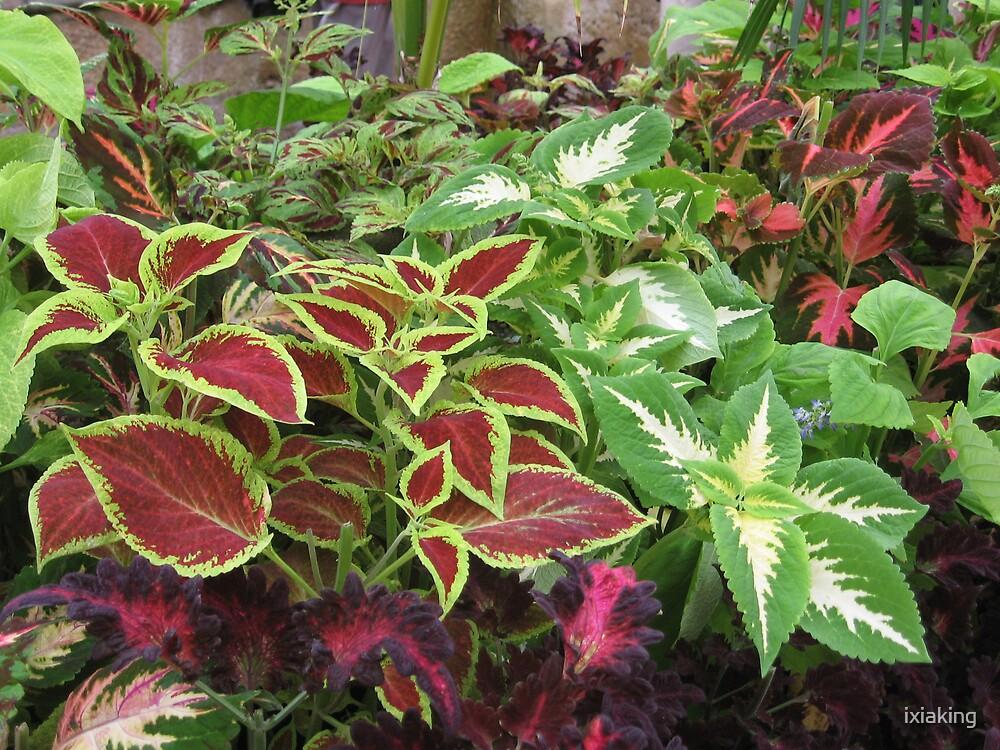 Coleus plants by ixiaking