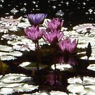 Waterlillies in the sun by pAgEdOwN