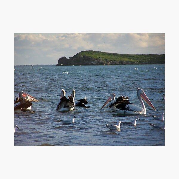 Pelican`s Photographic Print