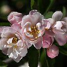 Crabapple Flowers  by Joy Watson
