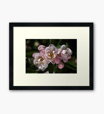 Crabapple Flowers  Framed Print