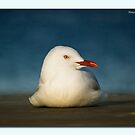 Seagull Portrait 0021 by kevin chippindall