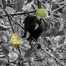 Currawong pinching apples by Josie Jackson