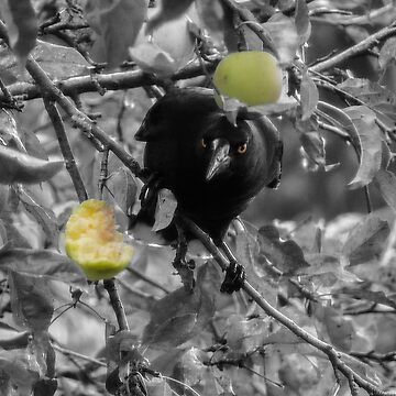 Currawong pinching apples by JosieJackson