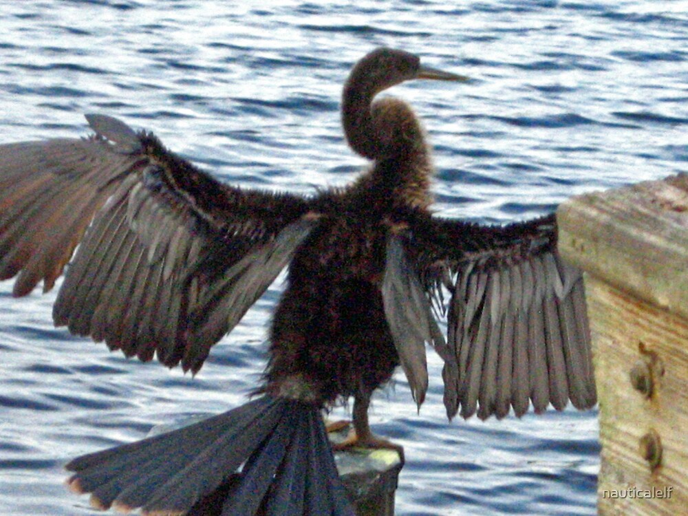 Young Anhinga Drying His Wings by nauticalelf