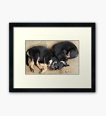 Kelpie Puppies Framed Print