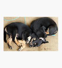 Kelpie Puppies Photographic Print