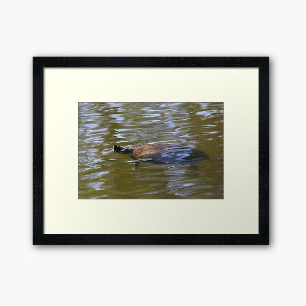 turtle swimming at Trojan pond, near Goble, Oregon 2 Framed Art Print