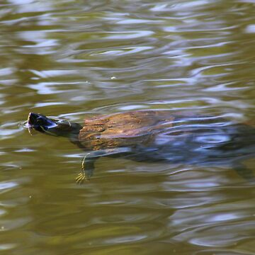 turtle swimming at Trojan pond, near Goble, Oregon 2 by DlmtleArt