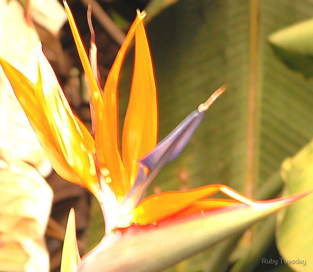 Bird of Paradise by Ruby Tuesday