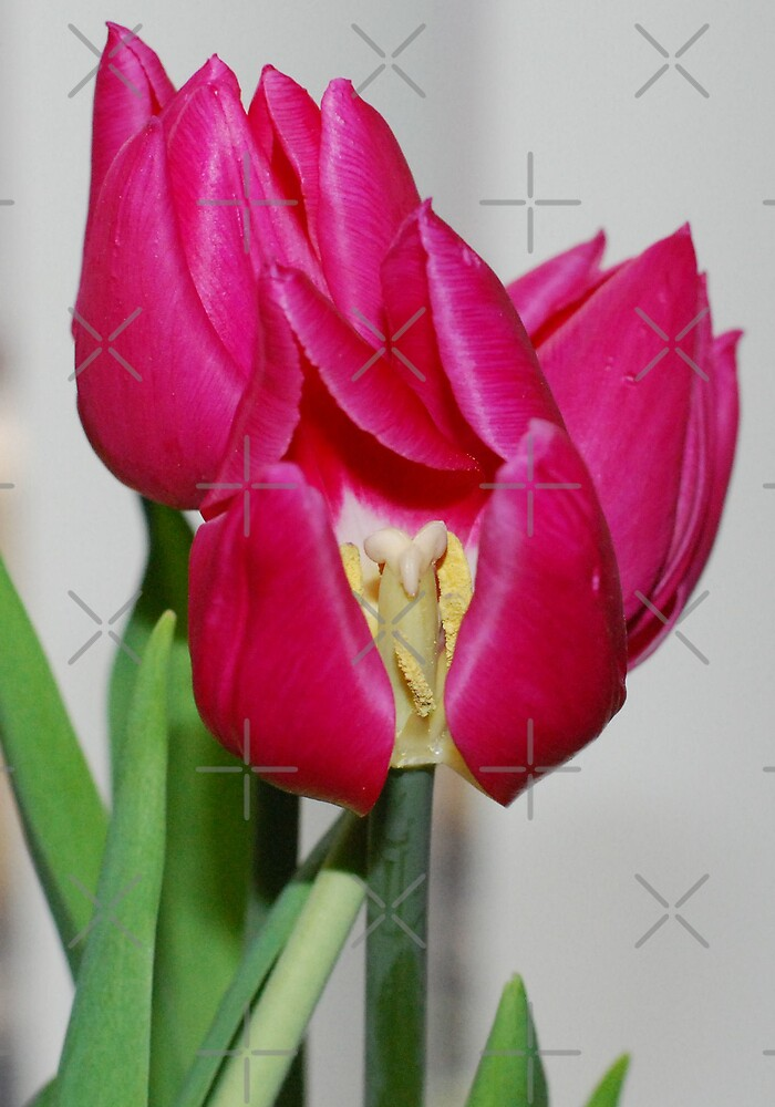 Pink Tulips by Michelle *