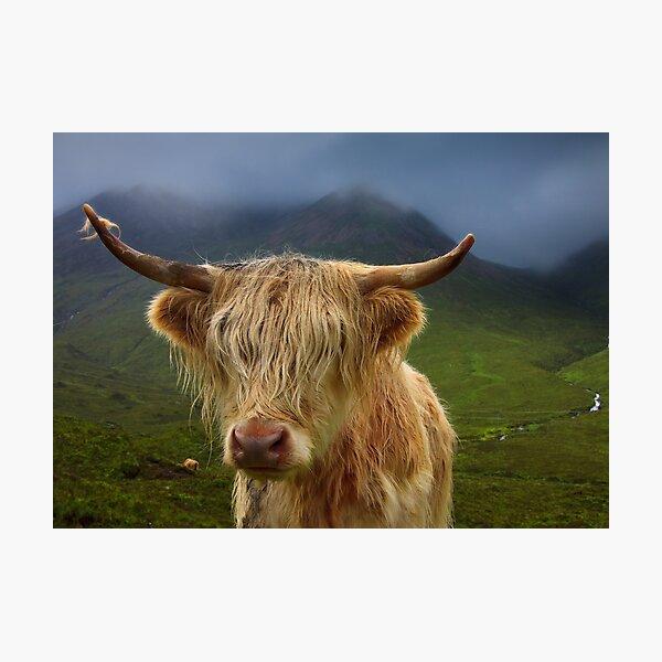 Highland Cow Portrait  Isle of Skye. Scotland. Photographic Print