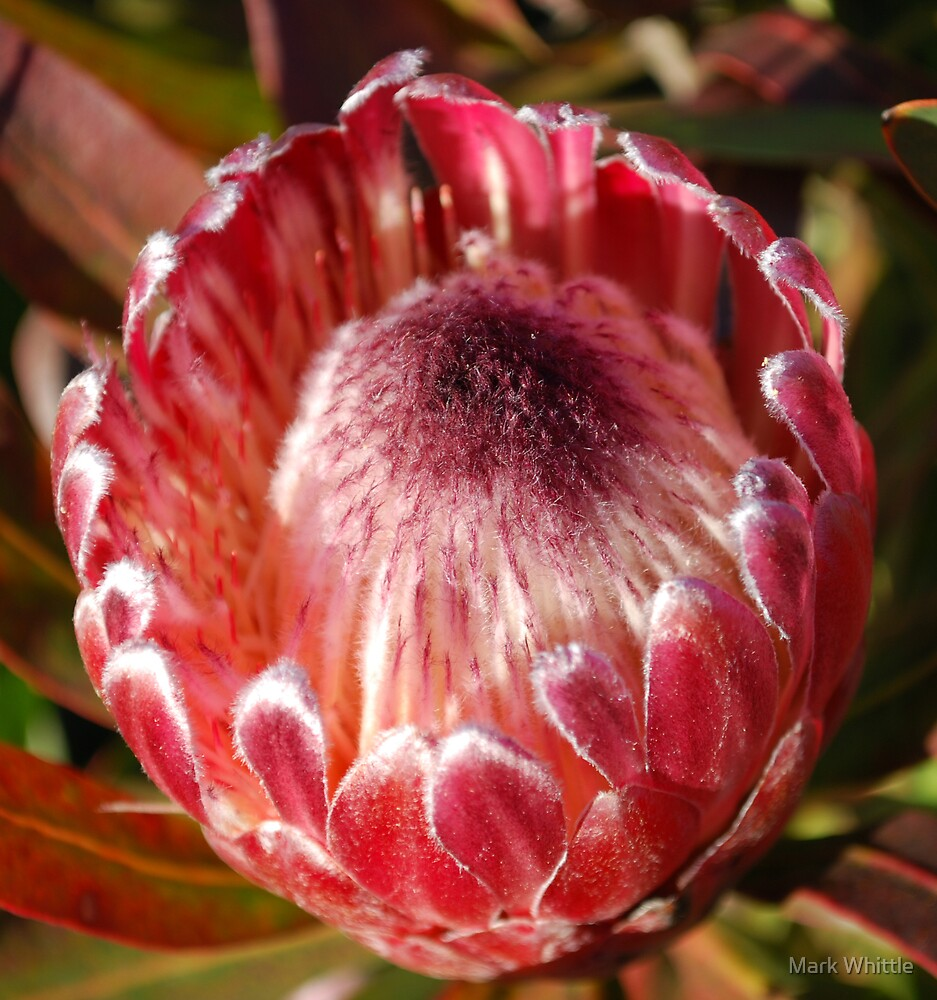 Protea flower by Mark Whittle
