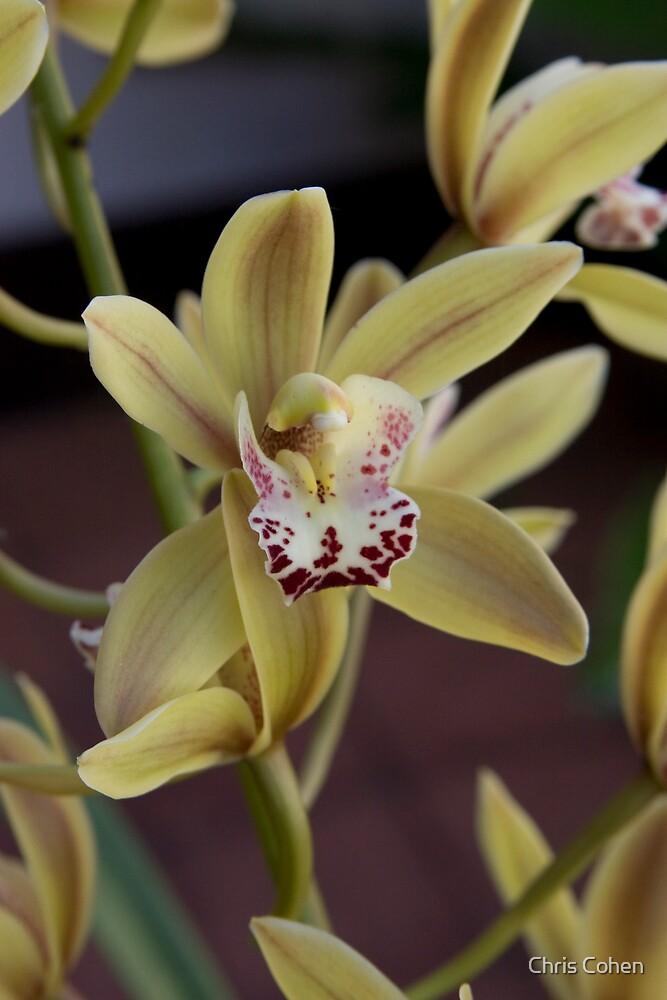Mums Orchid by Chris Cohen