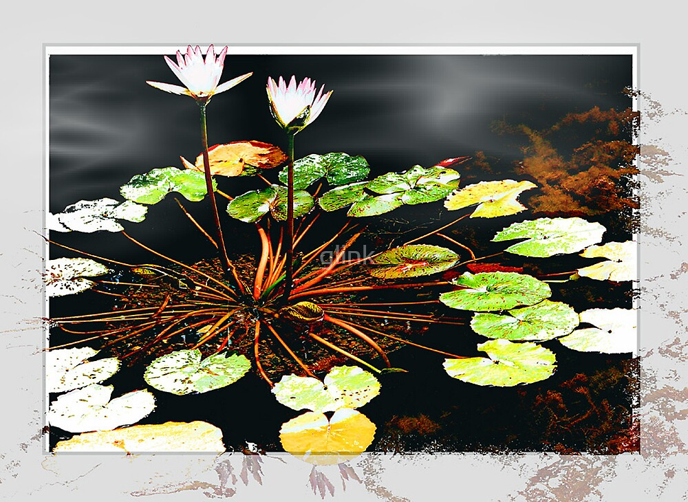 Water Lily by glink