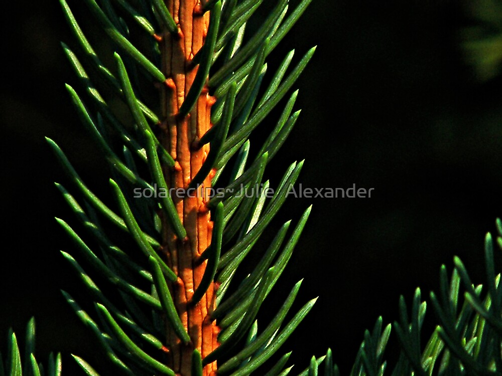 Pine by solareclips~Julie  Alexander