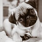 Super Girl Fawn Pug Puppy Black and White by Monica Michelle