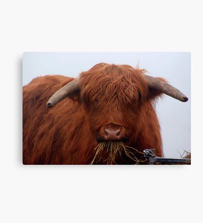 Freddy the Bull Canvas Print