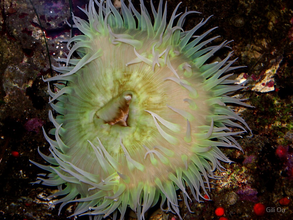 Aggregating anemone by Gili Orr