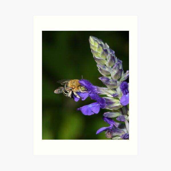 Blue Banded Bee Art Print