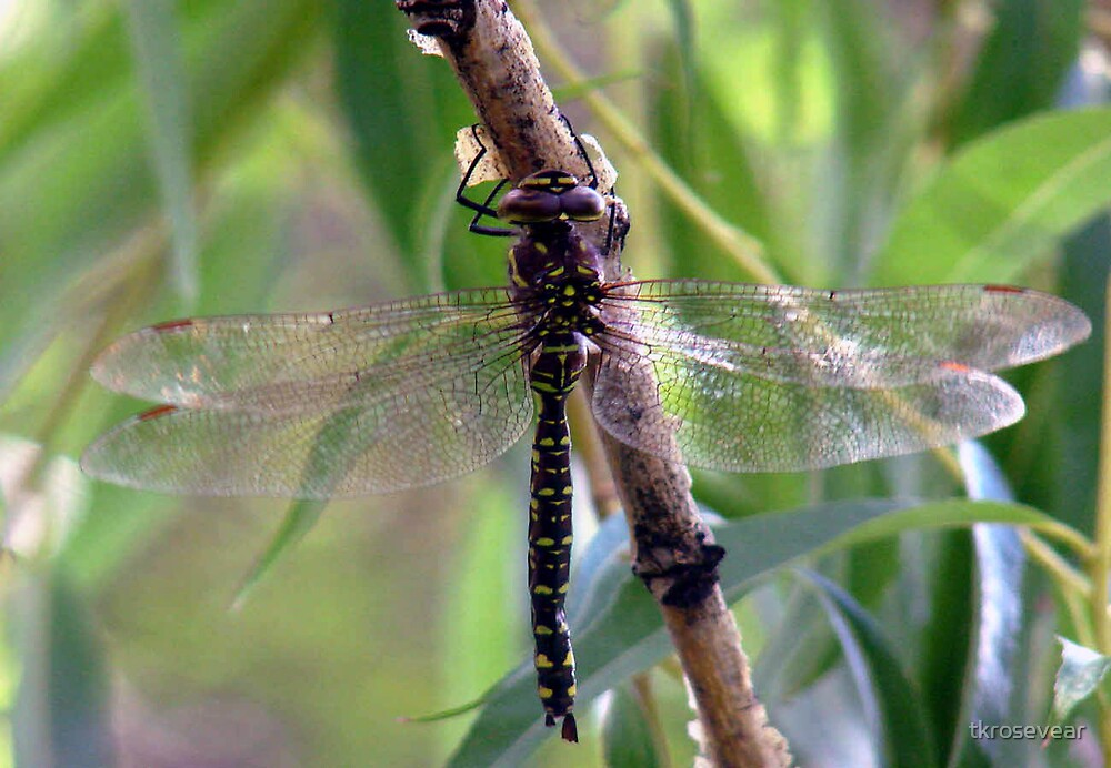 Summer dragonfly, just hanging around... by tkrosevear